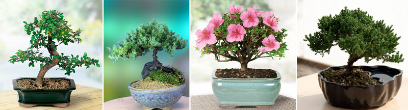 5 year anniversary gift bonsai tree