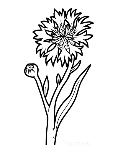 Flower Coloring Pages Botanical Cornflower