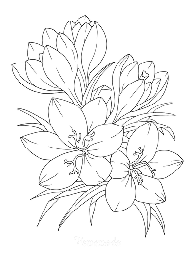 Flower Coloring Pages Botanical Crocus