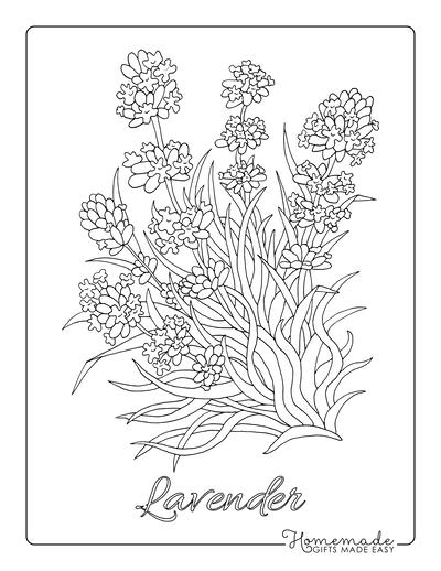 Flower Coloring Pages Botanical Lavender