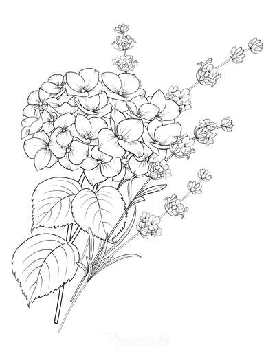 Flower Coloring Pages Lavender and Hydrangea Botanical